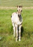 Potro do cavalo de um quarto de Grulla Fotografia de Stock Royalty Free