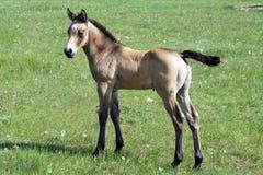 Potro do cavalo de um quarto do Buckskin imagem de stock royalty free