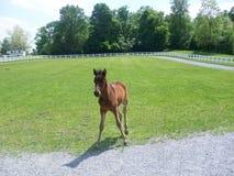 Potro do cavalo do puro-sangue de Vermont Fotografia de Stock