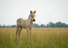 Potro do cavalo selvagem Foto de Stock