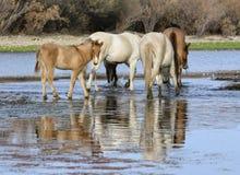 Potro do cavalo selvagem de Salt River no rio imagens de stock