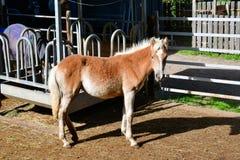 Potro do haflinger do cavalo nas montanhas de Italia imagens de stock royalty free