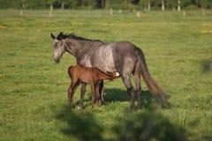 Potro e égua Imagem de Stock Royalty Free