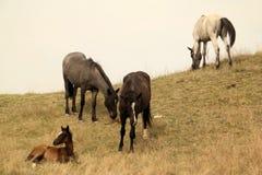 Potro e cavalos fotografia de stock