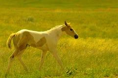 Potro e cavalos imagens de stock