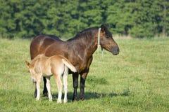 Potro e uma égua Fotografia de Stock Royalty Free