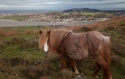 Potro galés salvaje Foto de archivo libre de regalías
