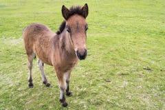 Potro islandés del caballo Imagen de archivo