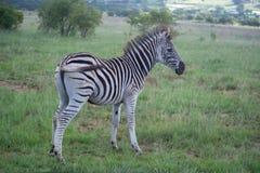 Potro joven de la cebra en los llanos africanos imagen de archivo