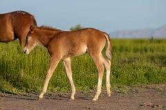 Potro lindo del caballo salvaje fotos de archivo libres de regalías