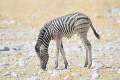 Potro molhado da zebra Fotografia de Stock