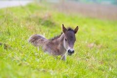 Potro novo do cavalo do przewalski Fotografia de Stock
