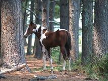 Potro pintado en bosque Foto de archivo