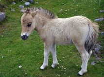 Potro poner crema pálido del bebé en un prado herboso Foto de archivo libre de regalías