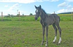 Potro recém-nascido Fotografia de Stock Royalty Free