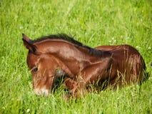 Potro recém-nascido que encontra-se no prado Fotografia de Stock Royalty Free