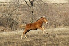 Potro rojo del caballo con un funcionamiento blanco del resplandor Fotografía de archivo libre de regalías