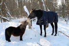 Potro y caballo de Shetland que juegan en el invierno Foto de archivo libre de regalías