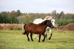 Potro y caballo que corren junto imagen de archivo libre de regalías
