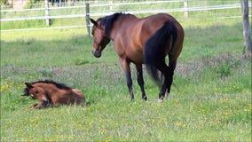 Potro y yegua del caballo de Brown en pasto verde metrajes