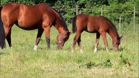 Potro y yegua del caballo que pastan en pasto verde almacen de video