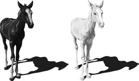 Potros blancos y negros con las sombras Foto de archivo
