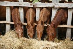Potros bonitos que comem o feno fresco em uma cena rural da exploração agrícola do cavalo Fotografia de Stock Royalty Free