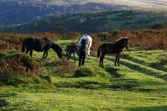 Potros de Dartmoor Foto de archivo libre de regalías