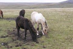 Potros de Dartmoor que pastam Fotos de Stock Royalty Free