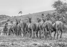 Potros de um quarto do cavalo imagem de stock