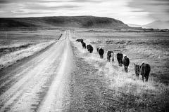 Potros islandeses Imágenes de archivo libres de regalías