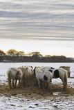Potros que alimentan en el campo nevado, Holywell, Northumberland Fotografía de archivo