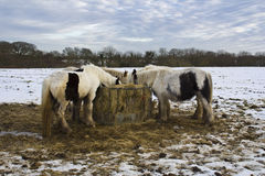 Potros que alimentan en el campo nevado, Holywell, Northumberland imagen de archivo