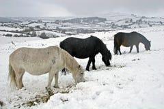Potros salvajes de Dartmoor en la nieve Imágenes de archivo libres de regalías