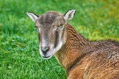 Potrtrait di una pecora fotografia stock