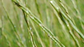 Potrząsalna trawa w wiatrze zbiory wideo