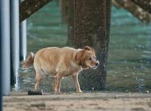 Potrząsalny mokry golden retriever Zdjęcie Royalty Free