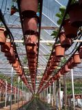 Pots accrochants de fraises photos libres de droits