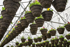 Pots of Annuals Hanging in Greenhouse Stock Photo