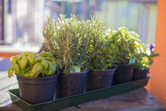 Pots of aromatic plants on outdoor table stock photography