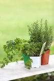 Pots of aromatic plants on white table Royalty Free Stock Image