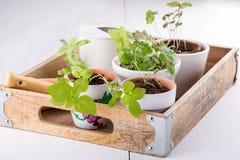 Pots avec des jeunes plantes de basilic, de menthe et de romarin photographie stock