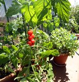 Pots in the balcony garden with tomato plants Royalty Free Stock Photography