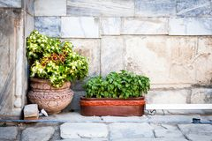 Pots with basil. That decorate the streets` look and smell in Samarkand, Uzbekistan royalty free stock images