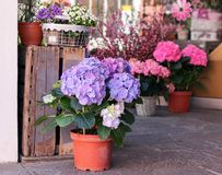 Pots with beautiful blooming pink and purple hydrangea flowers for sale outside flower shop. Garden store entrance decorated with stock image