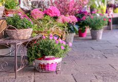 Pots with blooming pink flowers for sale outside of flower shop. Garden store entrance decorated with rustic style forged bench an royalty free stock photo