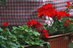 Pots with blooming red geranium. Red pelargonium. royalty free stock photography