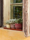 Pots with cacti on the sill. Of a medieval house in Sighisoara, Romania Stock Image