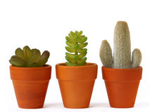 Pots of cactuses Royalty Free Stock Image