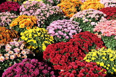 Pots of Chrysanthemums. Pots of colourful autumn chrysanthemums standing in sunlight Royalty Free Stock Photo